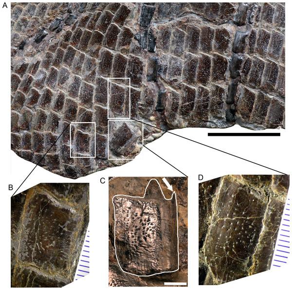 Posteroventral abdominal squamation of Dapedium ballei sp. nov. (SMNS 96990).