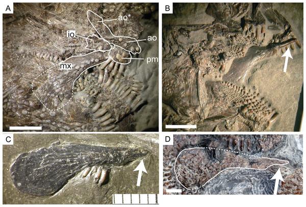 Articular process of the maxilla in Dapedium.