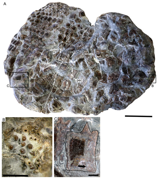 SMNS 50167, Dapedium sp. from the Opalinuston Formation of Baden-Württemberg.