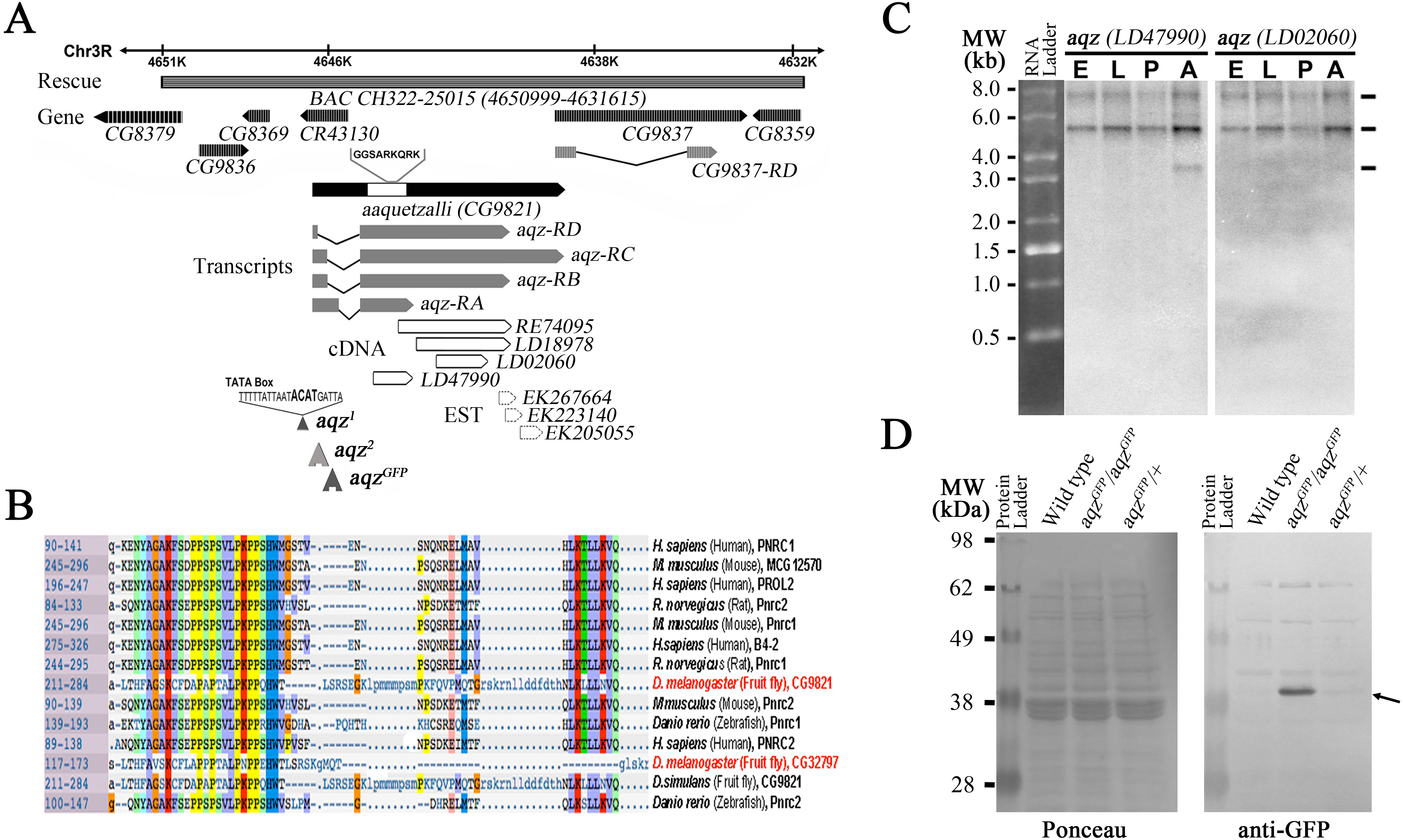 aaquetzalli is required for epithelial cell polarity and ... on