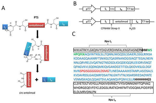 Entolimod cyclization in vivo using trans-splicing activity of Npu DnaE intein.