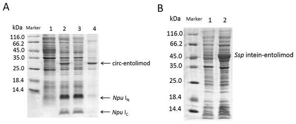 SDS–PAGE analysis of circ-entolimod expression.