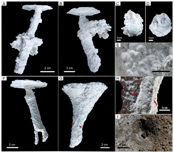 Plaster casts of modified Pavocosa sp. burrows.