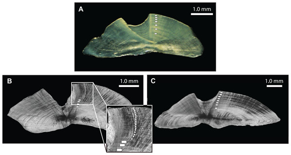 Photomicrographs of transverse otolith sections for (A) L. xanthochilus (reflected light), (B) L. gibbus (transmitted light), and (C) L. rufolineatus (transmitted light).