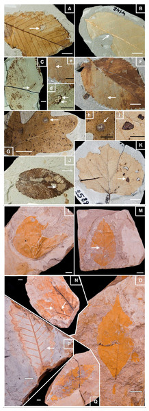 Well-preserved samples of fossil leaves morphotypes from Willershausen and Berga outcrops, late Pliocene from Germany.