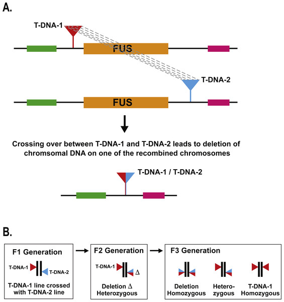 Schematic of T-DNA directed deletion and genetic screen.
