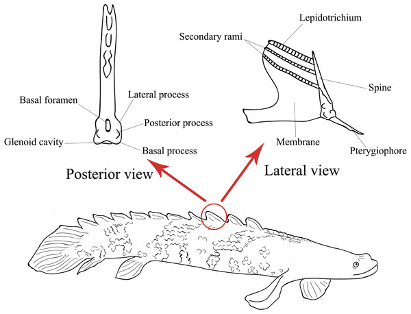 Illustration of the lateral view of a Polypterus specimen with anatomical details on lateral and posterior views of a pinnule (Modified from Gayet, Meunier & Werner, 1997).