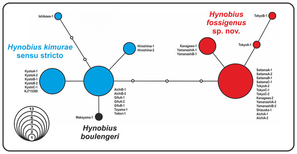 Nuclear allele median-joining network for the RAG-1 gene haplotypes observed in Hynobius kimurae sensu lato and H. boulengeri.