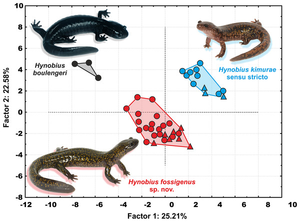 Two-dimensional plot of first against second factors of PCA of 29 morphological characters for the Hynobius kimurae–H. boulengeri species complex specimens examined.