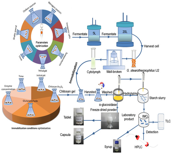 The flow-process diagram of starch biotransformation into isomaltooligosaccharides using thermostable alpha-glucosidase from G.stearothermophilus.