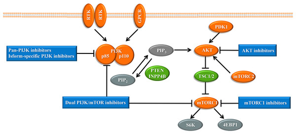 The phosphoinositide 3-kinase pathway and inhibitors of the pathway in cancer.