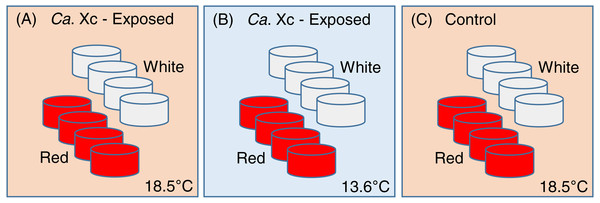 Experimental set up: Experimental variables are illustrated as follows: (A) Candidatus Xenohaliotis californiensis (Ca. Xc) exposed, 18.5 °C; (B) Ca. Xc exposed, 13.6 °C; (C) Control, 18.5 °C.