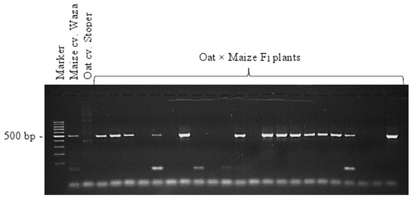 Identification of oat × maize F1 plants.