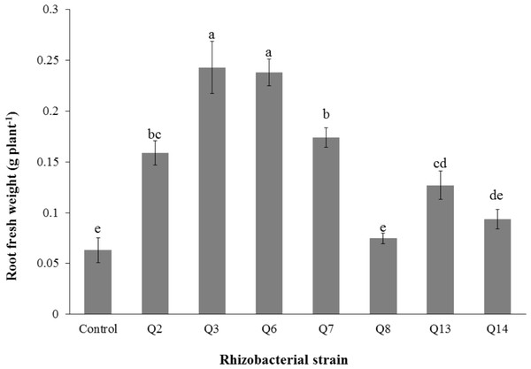 Effect of phosphate solubilizing rhizobacteria on the root fresh weight of cotton seedlings.