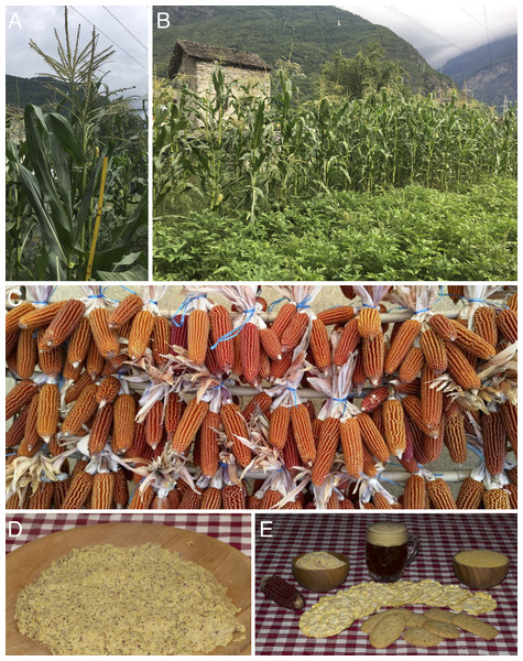 Cultivated plants, drying ears and products of Zea mays subsp. mays Rostrata Group.