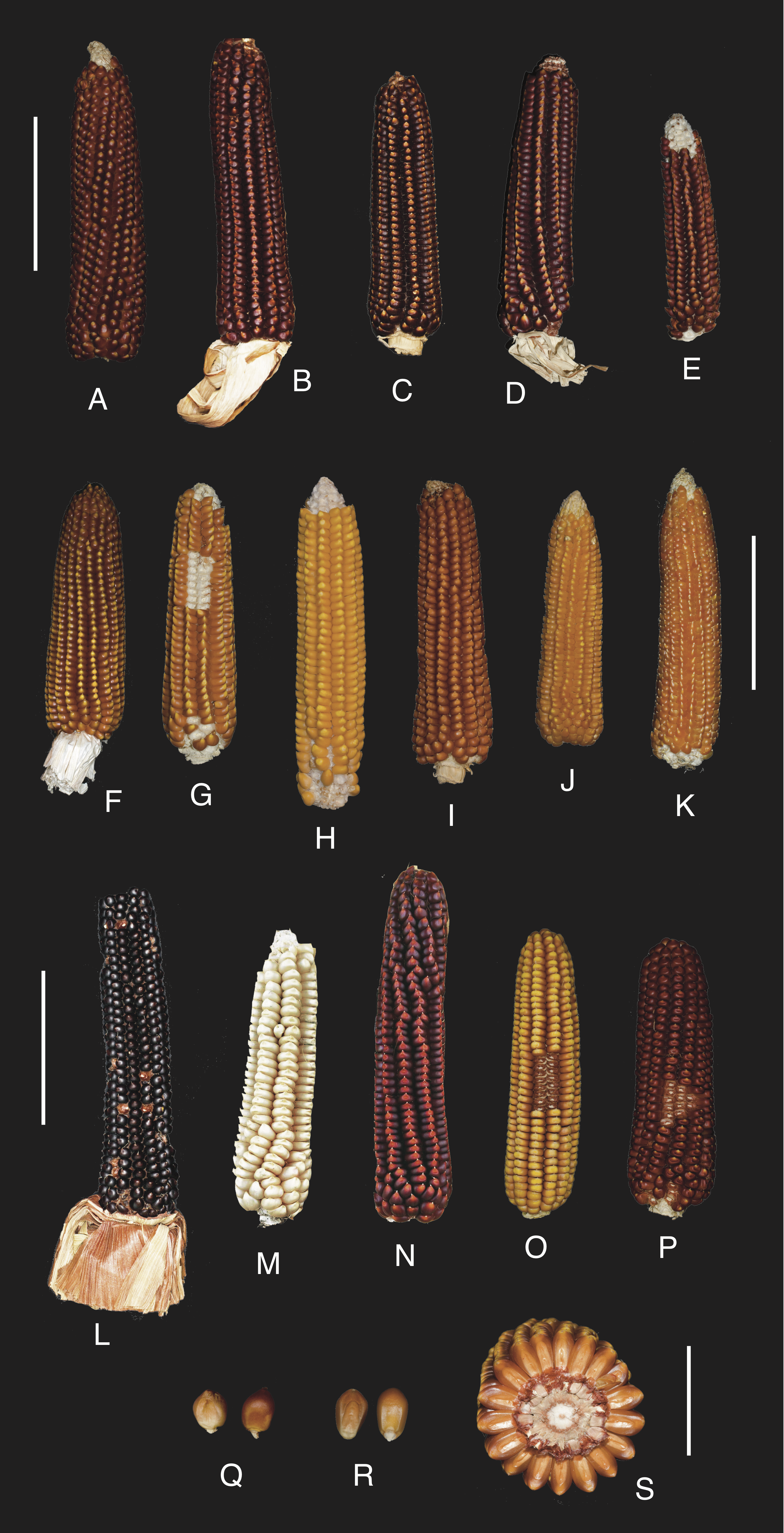 Ana Lago Xxx back to beaked: zea mays subsp. mays rostrata group in
