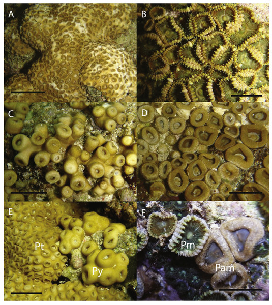 In situ images of Palythoa species examined in this study.