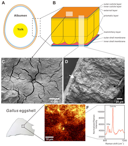 Cross-sectional view, SEM images, and Raman imaging and spectrum of a Gallus gallus domesticus egg and eggshell.