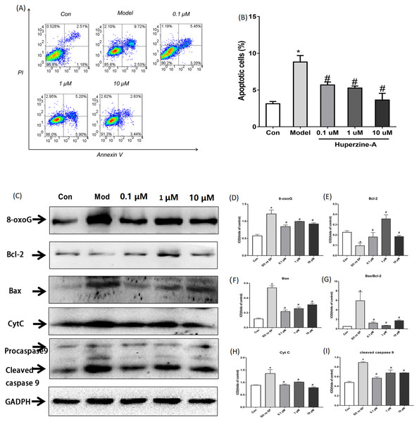 Cell apoptosis and the expression of apoptosis proteins determined by flow cytometry and Western Blot.