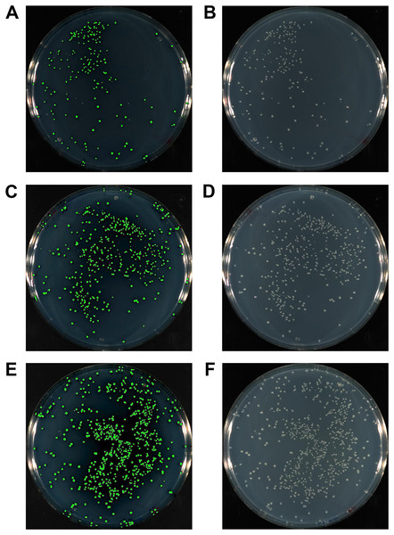 The gfp gene amplified with either 15 bp (A, B), 20 bp (C, D) or 25 bp HAC-tails (E, F) were cloned into pUC19 via HAC.
