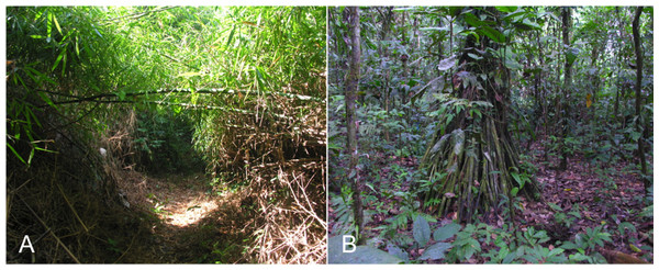 Views of a dense patch of Guadua weberbauri bamboo habitat with trail cut through patch (A) and of the terra firme habitat (B) studied at Los Amigos Biological Station, Peru.