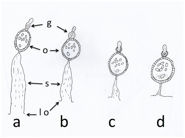 Sac stages of parous mosquitoes.