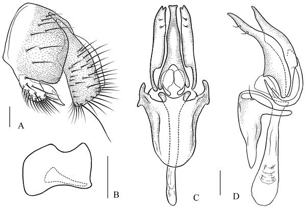 Pseudostegana stictiptrata sp. nov., male terminalia.