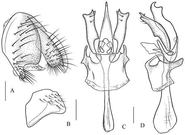 Pseudostegana alpina sp. nov., male terminalia.