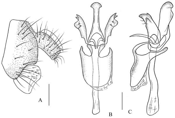 Pseudostegana amoena sp. nov., male terminalia.