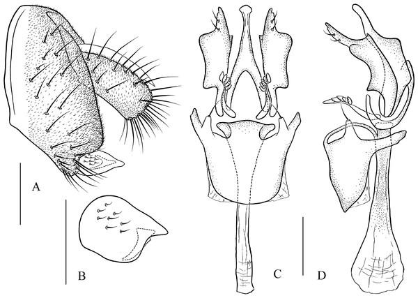 Pseudostegana amnicola sp. nov., male terminalia.