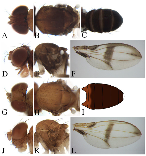 Morphological structures of male frons, palpus, mesonotum, pleura, wing and abdominal tergites.