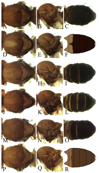 Morphological structures of male mesonotum, pleura and abdominal tergites.