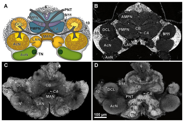 Comparison of virtual brain sections of P. fallax cf. virginalis based on all three methods applied.