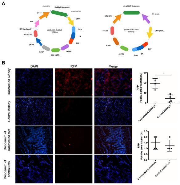 Lentivirus preparation and transfection detection.