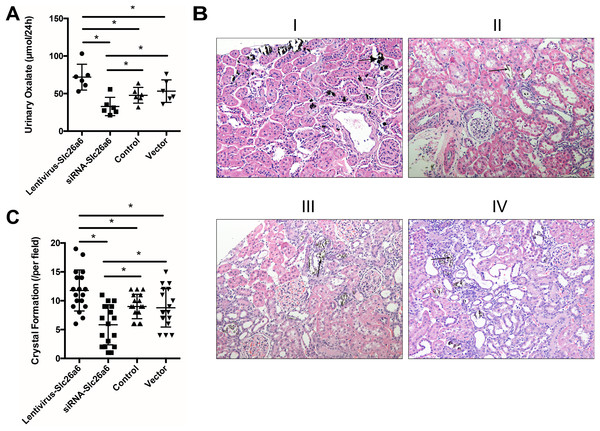 Transfection with Slc26a6 or siRNA-Slc26a6 led to different urinary oxalate and crystal formation in rats.