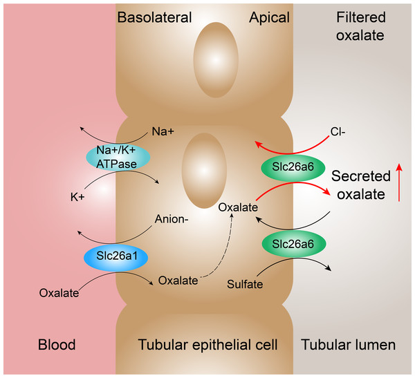 Proposed mechanisms of oxalate transport across the renal epithelium in the proximal tubule.