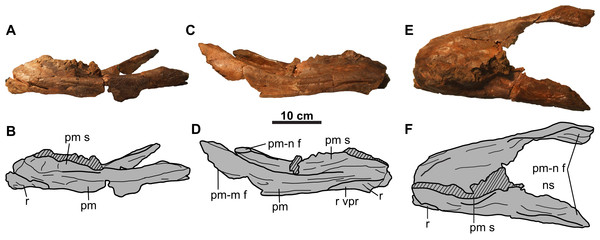 Rostral and premaxillae of CMN 8802 (Chasmosaurus sp.).