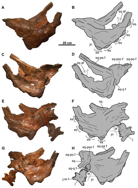 Squamosals of CMN 8802 (Chasmosaurus sp.).