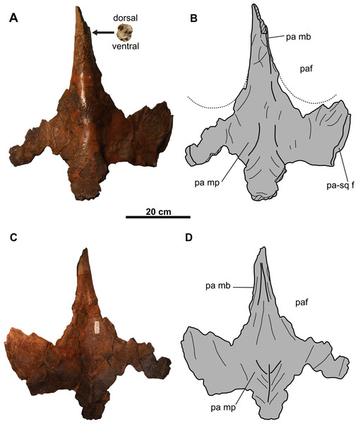 Parietal of CMN 8802 (Chasmosaurus sp.).