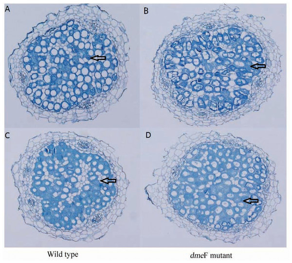 Light micrographs of nodule sections produced by S. meliloti wild-type strain and dmeF mutant.
