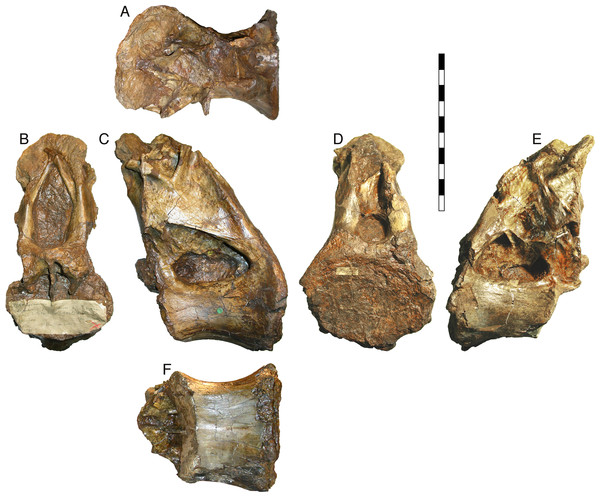NHMUK R2095, the holotype and only vertebra of Xenoposeidon proneneukos, shown from all six cardinal directions.