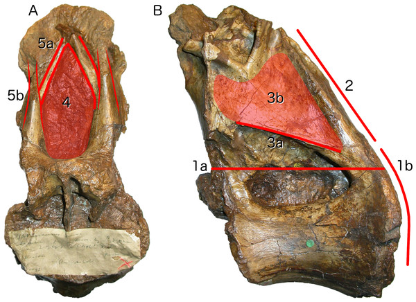 Autapomorphies of Xenoposeidon proneneukos NHMUK R2095, mid-posterior dorsal vertebra, highlighted in red.