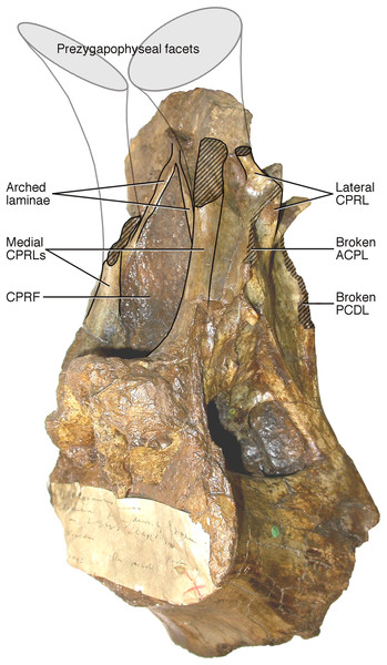 NHMUK R2095, the holotype and only vertebra of Xenoposeidon proneneukos, in left anteroventrolateral view, highlighting the three sets of laminae related to the prezygapophyses.