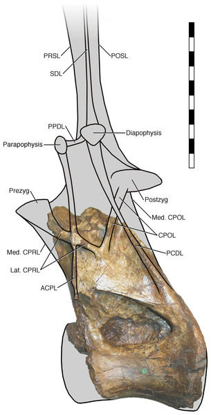NHMUK R2095, the holotype and only vertebra of Xenoposeidon proneneukos, in left lateral view, interpreted as a rebbachisaurid.