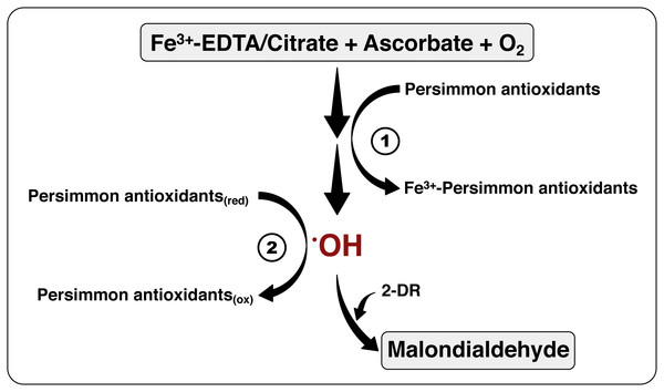 The mechanism of antioxidant action of persimmon extracts.