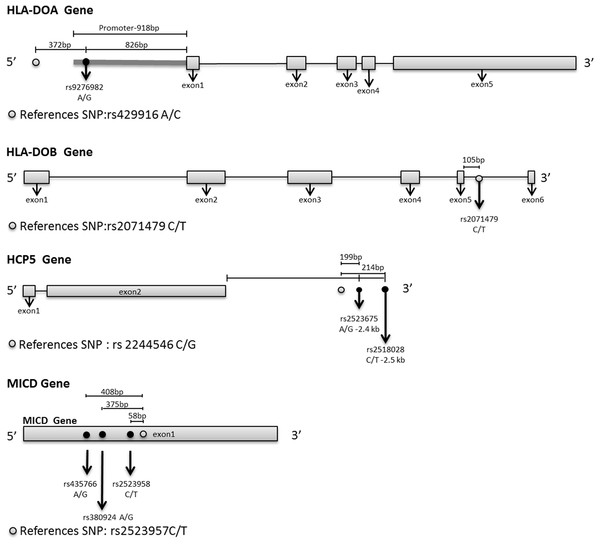 The relative positions of the relapse-associated SNPs to the indicated genes.
