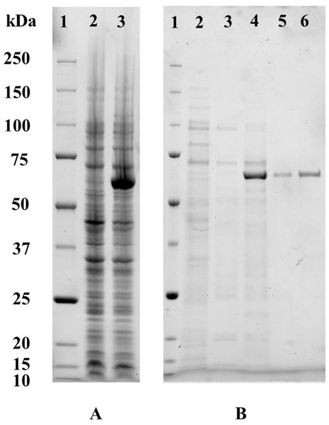 In vitro over-expression and purification of the recombinant P. tuoliensis TPS protein.