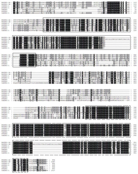 Protein sequence alignment of EDR1-1 from tobacco, Arabidopsis, rice and tomato.