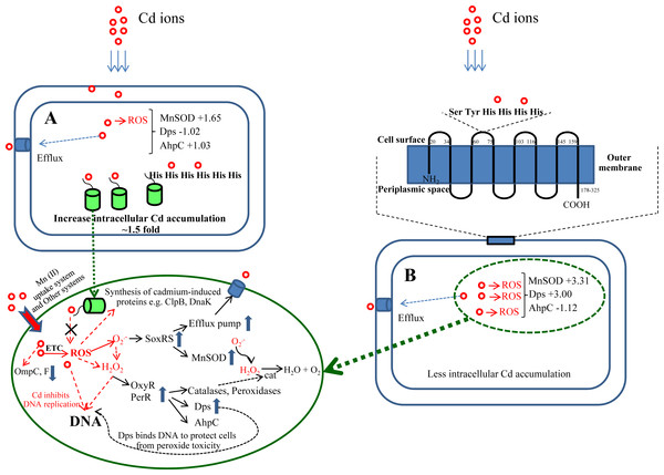 A proposed molecular mechanism of cellular responses and adaptation in the presence of toxic cadmium ions.