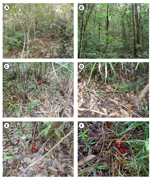 Habitat physiognomy and examples of limited dispersal of Z. portoricensis in the southcentral serpentine outcrop of Puerto Rico.